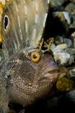 De vissen van Blenny van de vlinder Stock Fotografie