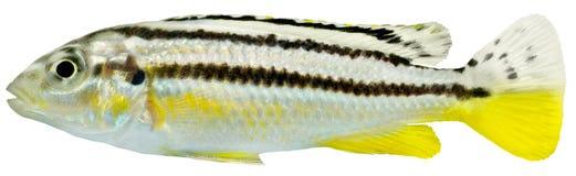 De Vissen van Cichlid Stock Afbeelding