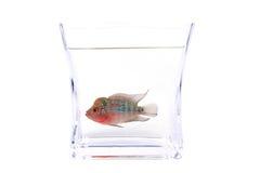 De vissen van Cichlid van Flowerhorn in het aquarium Royalty-vrije Stock Afbeelding