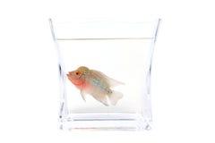De vissen van Cichlid van Flowerhorn in het aquarium Stock Afbeeldingen