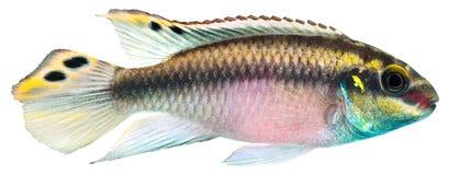 De vissen van Cichlid van Kribensis Stock Foto