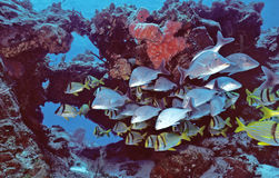 De Vissen van Cozumel Royalty-vrije Stock Afbeeldingen