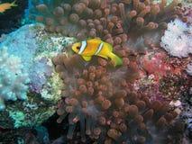 De vissen van de anemoon Royalty-vrije Stock Afbeelding