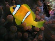 De vissen van de anemoon Stock Foto
