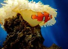 De vissen van de anemoon Stock Afbeeldingen