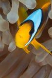 De vissen van de anemoon Stock Afbeelding