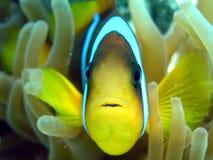 De Vissen van de anemoon Stock Fotografie