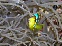 De vissen van de anemoon royalty-vrije stock afbeeldingen