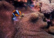 De Vissen van de anemoon, groot barrièrerif, Australië Stock Foto's