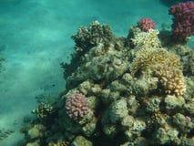 De vissen van de ballon en koraal van Rode overzees Stock Afbeeldingen