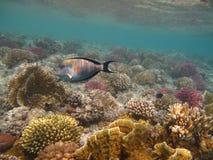 De vissen van de chirurg en koraal van Rode overzees Royalty-vrije Stock Fotografie