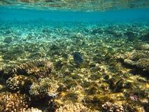 De vissen van de chirurg in onderwater stock foto's