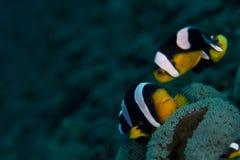 De Vissen van de clown Royalty-vrije Stock Foto