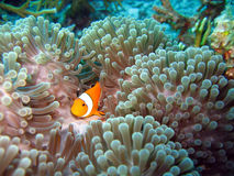 De Vissen van de clown Stock Afbeelding