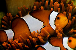De Vissen van de clown royalty-vrije stock afbeeldingen