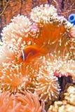 De vissen van de clown in anemonen   stock foto