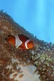 De Vissen van de clown in Anemoon royalty-vrije stock afbeeldingen
