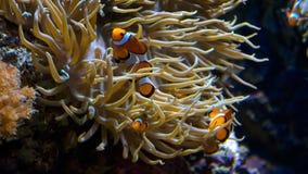 De Vissen van de clown in Anemoon stock afbeeldingen