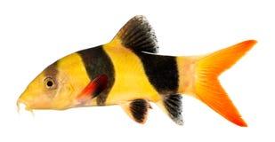 De vissen van de clown loach Stock Foto