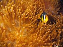 De Vissen van de clown met rode anemoon Royalty-vrije Stock Afbeeldingen
