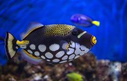 De vissen van de clowntrekker Royalty-vrije Stock Foto's