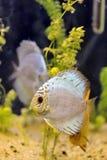De vissen van de discus stock foto's