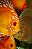 De vissen van de discus Stock Afbeeldingen