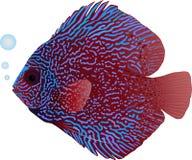 De Vissen van de discus stock illustratie