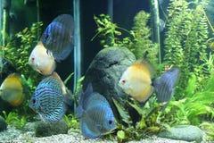 De Vissen van de discus Stock Afbeelding