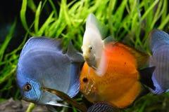De vissen van de discus Stock Foto