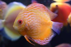 De vissen van de discus, gele Discus Symphysodon. Royalty-vrije Stock Afbeeldingen