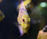 De vissen van de discus, gele Discus Symphysodon. Royalty-vrije Stock Foto