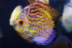 De vissen van de discus, gele Discus Symphysodon. Royalty-vrije Stock Foto's