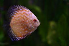 De vissen van de Discus N5 Stock Afbeeldingen