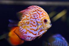 De vissen van de discus, rode Discus Symphysodon. Stock Afbeeldingen