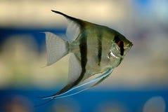 De vissen van de engel Royalty-vrije Stock Afbeeldingen