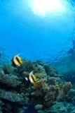 De vissen van de ertsader op koraal Stock Afbeelding