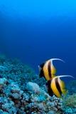 De vissen van de ertsader op koraal Stock Afbeeldingen