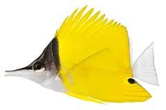 De Vissen van de forceps Stock Fotografie