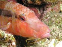 De Vissen van de geit Stock Foto's