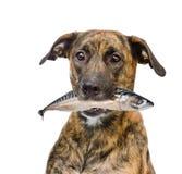 De vissen van de hondholding in zijn mond Geïsoleerdj op witte achtergrond stock foto