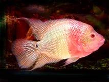 De vissen van de Hoorn van de bloem Royalty-vrije Stock Afbeeldingen