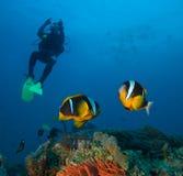 De vissen van de juffer Stock Foto's