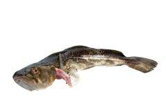 De vissen van de kabeljauw Stock Afbeeldingen