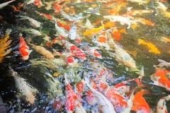 De Vissen van de Karper van Koi Stock Afbeeldingen