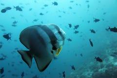 De vissen van de knuppel - de Maldiven Stock Afbeeldingen