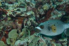 De vissen van de kogelvis Royalty-vrije Stock Afbeelding