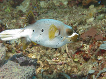 De vissen van de kogelvis Royalty-vrije Stock Foto's
