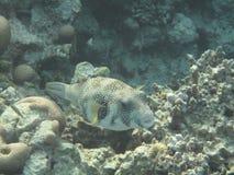 De vissen van de kogelvis Stock Afbeeldingen