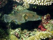 De Vissen van de kogelvis met witte punten Stock Afbeelding